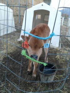 Cheese the Calf